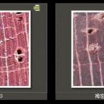 離孔薄壁細胞 Apotracheal parenchyma