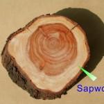邊材 sapwood
