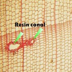 縱向樹脂溝(顯微影像) Axial resin canal(vertical resin duct)