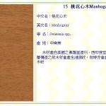 桃花心木 Manhogany