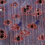 翼狀薄壁細胞 (巨視) Aliform parechyma