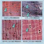 離孔薄壁細胞 (巨視) Apotracheal parenchyma