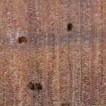 琉球松 Luchu pine