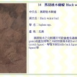 黑胡桃木樹瘤 Black walnut burl